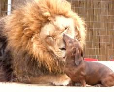 León y perro salchicha amigos