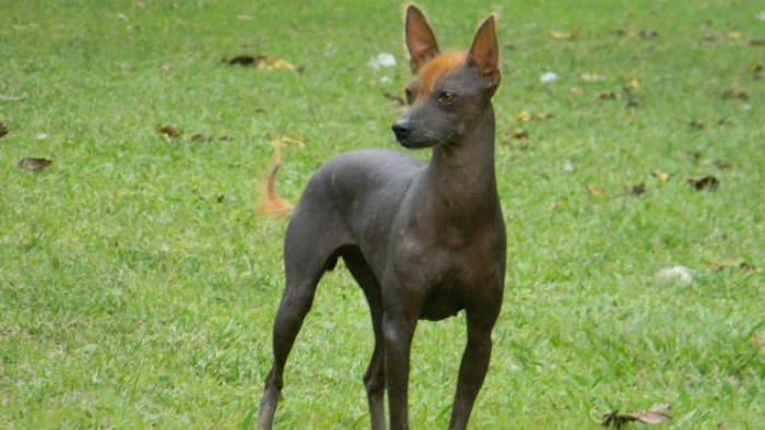 Perro peruano sin pelo raza rara perros