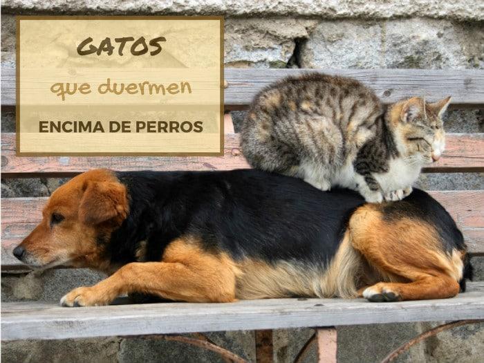 Gatos que duermen encima de perros