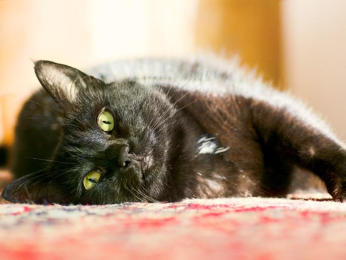 curiosidades gatos negros
