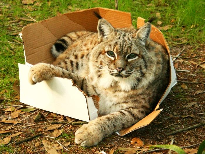 Gatos grandes cajas de cartón