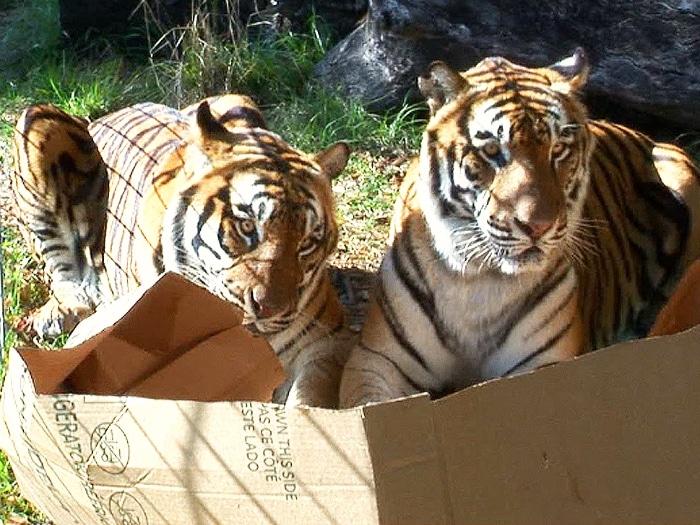 Gatos grandes cajas cartón