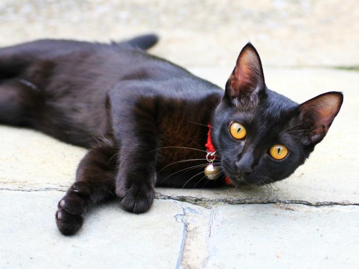 Curiosidades y datos interesantes sobre gatos negros