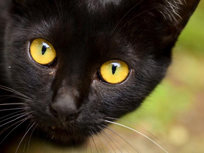 Curiosidades sobre gatos negros