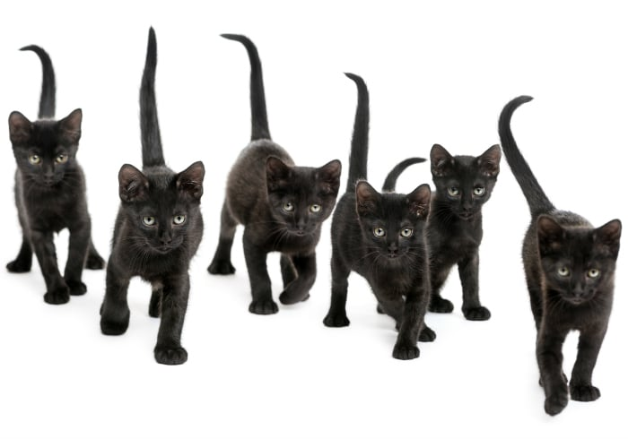Curiosidades sobre los gatos negros