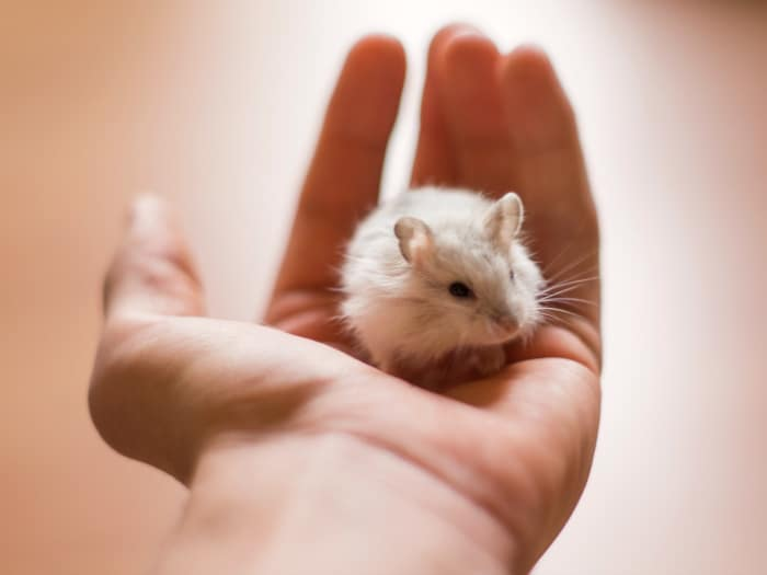 Hamsters comen crías