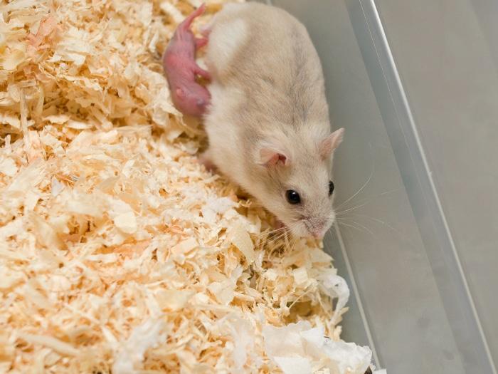 Por qué los hamsters se comen a sus crías