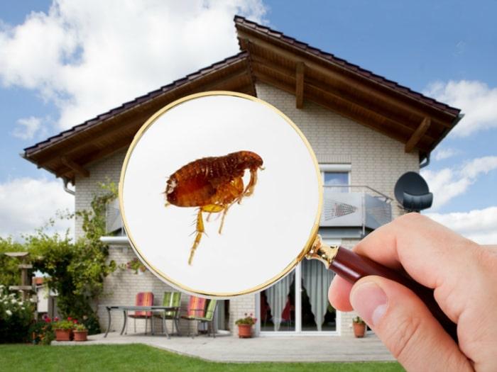 Acabar con las pulgas en casa