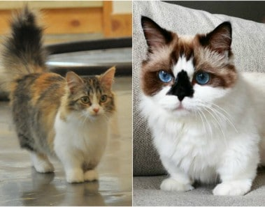 Munchkin gatos raza