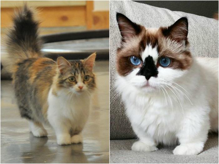munchkin gatos