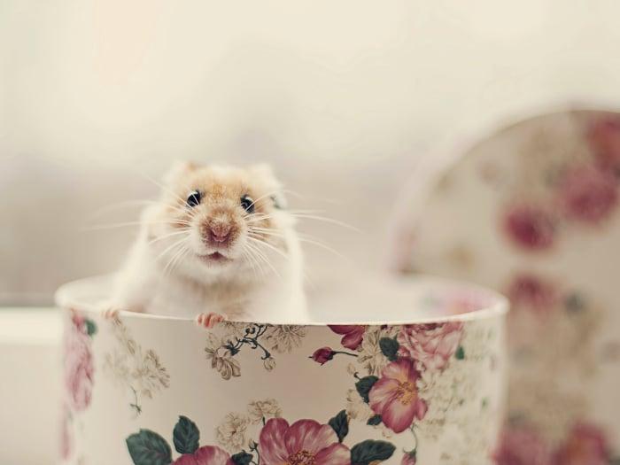 curiosidades sobre los hamsters