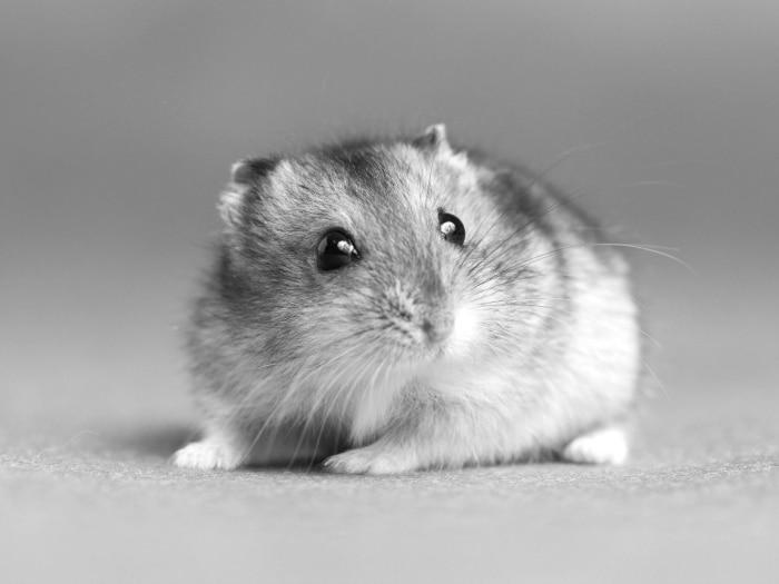 datos y curiosidades sobre hamsters