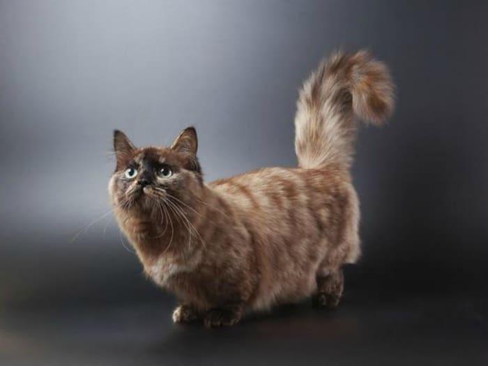 munchkin gato