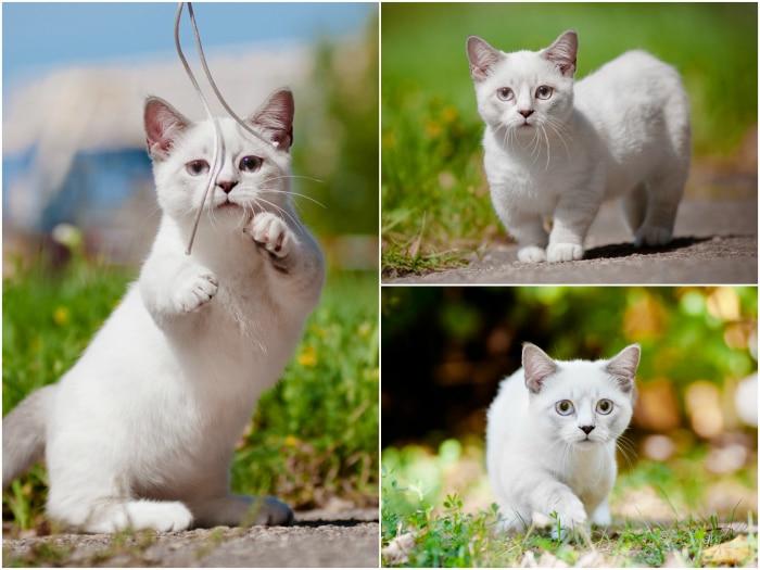 Munchkin raza de gato