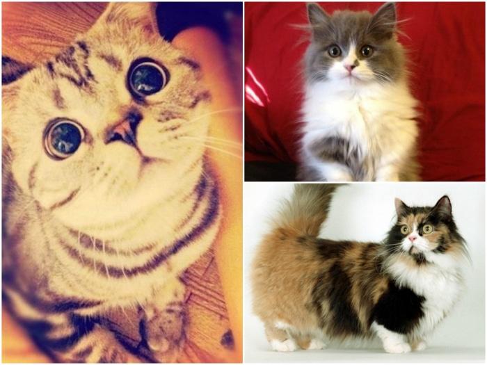 munchkin gatos raza paticorta