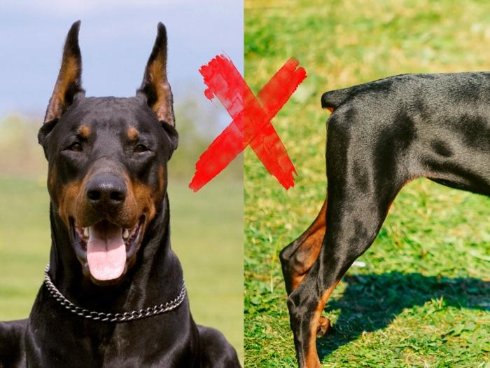 Prohiben cortar colas y orejas a perros