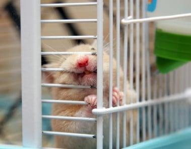 Por qué muerde un hámster los barrotes de su jaula