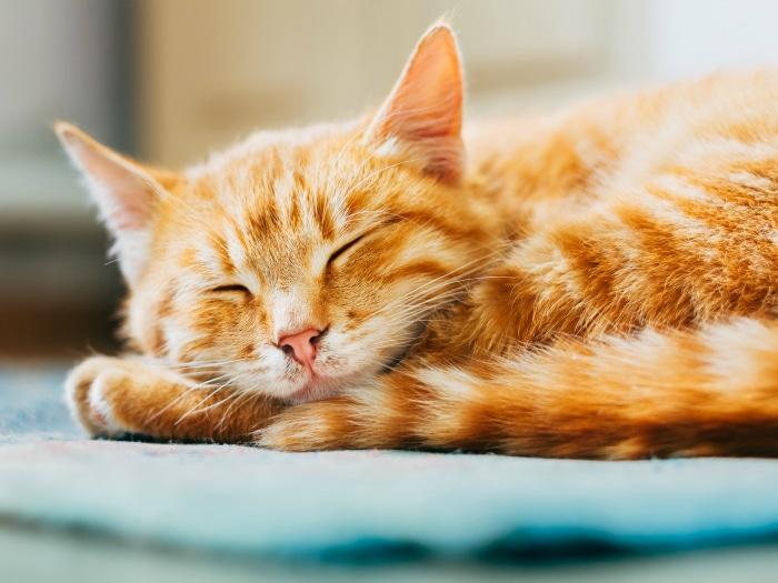 Hacer feliz a un gato doméstico