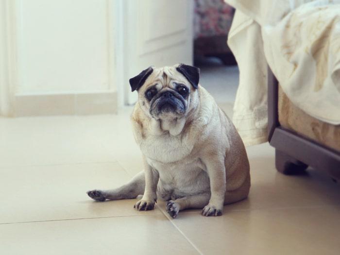 Perros obesos, sobrepeso en perros