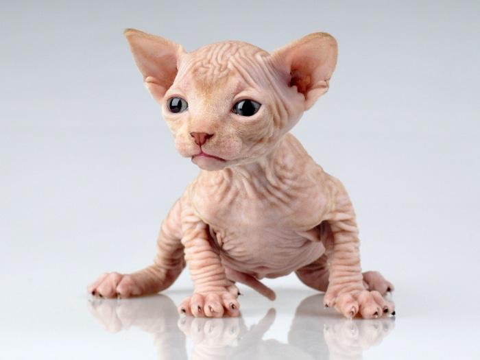 Gatos egipcios, gatos esfinge, Sphynx cats