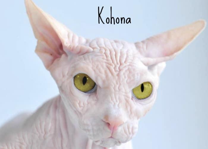 Gato sin pelo kohona gatos esfinge