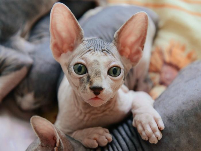 Gato esfinge o sphynx cat