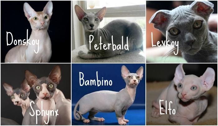 Gatos esfinge razas gatos sin pelo