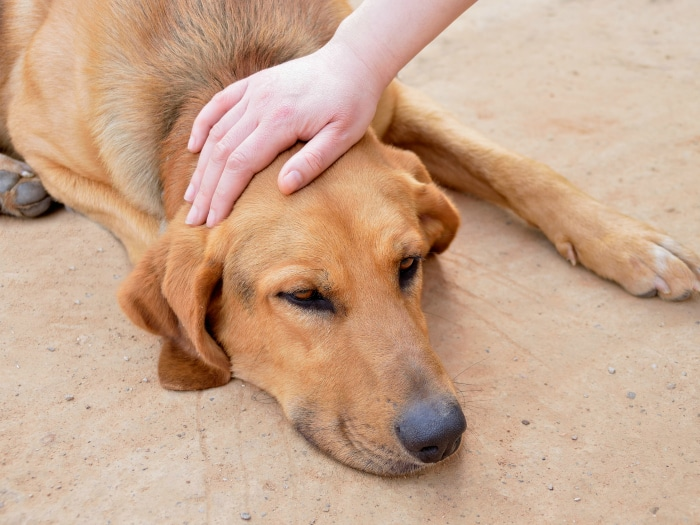Qué hacer si un perro se envenena