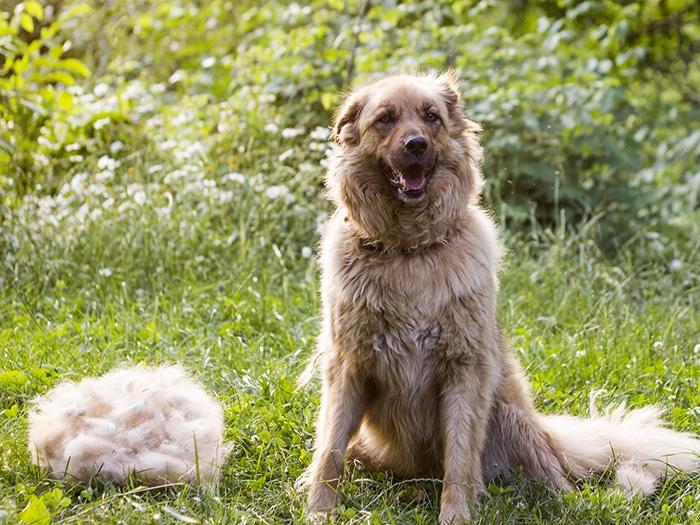 caída de pelo perros