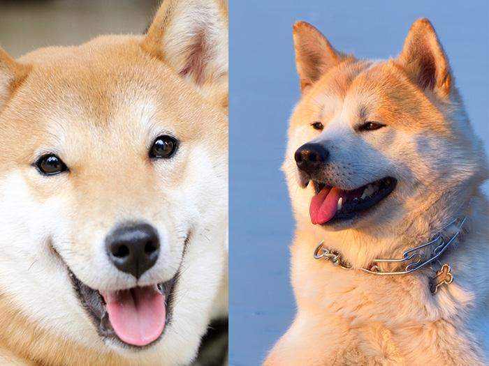 Akita y Shiba inu diferencias
