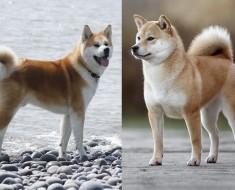 Shiba Inu vs Akita diferencias