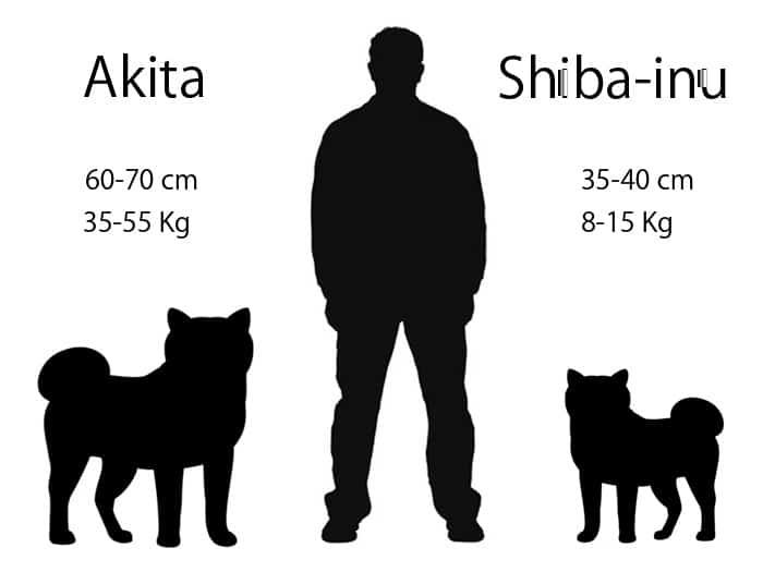 Shiba Inu y Akita diferencias