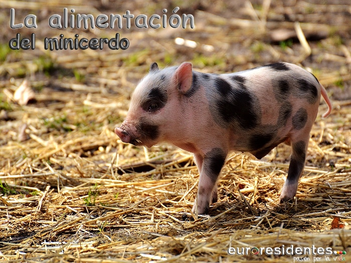 Qué come un cerdo vietnamita o Minipig