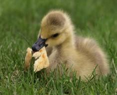 que comen los patos