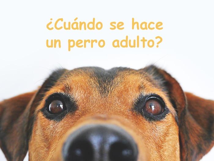 perros adultos madurez