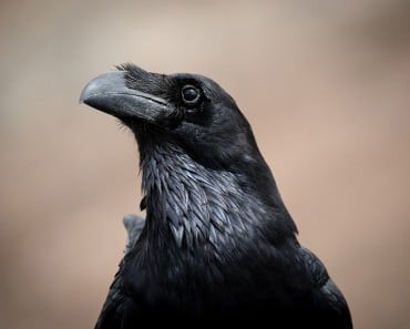curiosidades sobre los cuervos