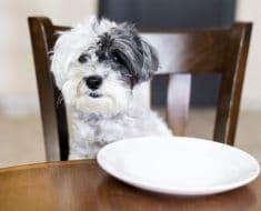 Perro que mendiga comida mientras comen las personas