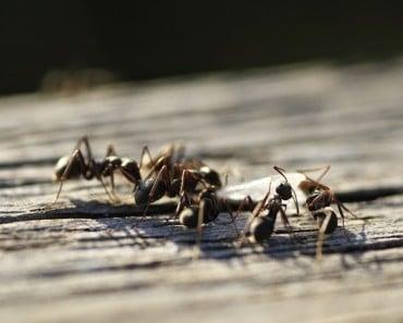 ¿Cómo terminar con las hormigas? Remedio contra las hormigas