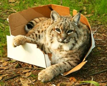 A los Gatos Grandes también les gustan las cajas!