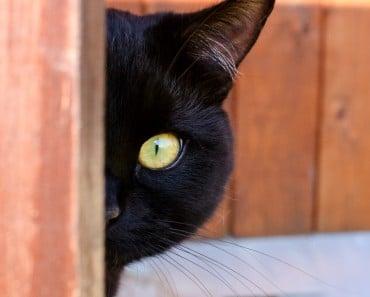 10 Curiosidades y datos interesantes sobre los Gatos Negros