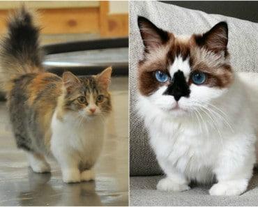 Munchkin: La raza de Gato más Adorable