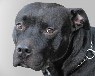 ¡Buenas noticias! En España, NO másmutilaciones estéticas a perros