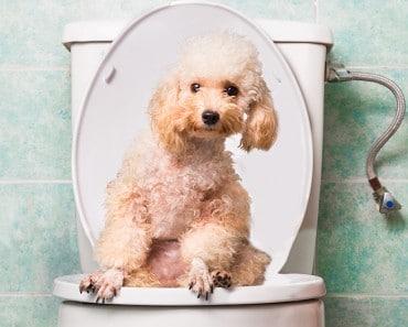 Estreñimiento en perros: ¿Cómo podemos solucionarlo?