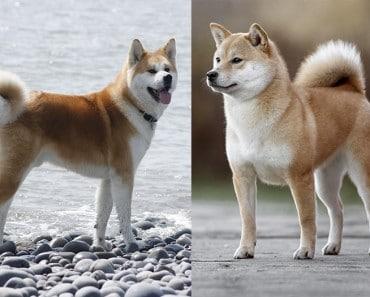 ¿En qué se diferencia un Akita de un Shiba Inu?