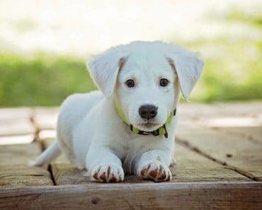 ¿Cuándo es adulto un perro?