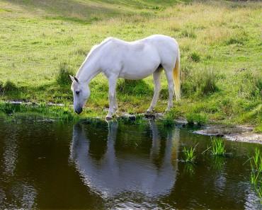 ¿Cuánta agua bebe un caballo al día?
