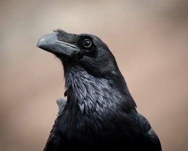 17 Alucinantes curiosidades sobre los cuervos