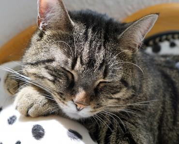¿Por qué los gatos ronronean?