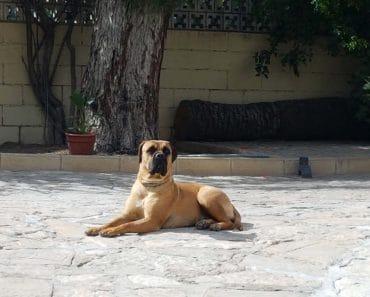Razas de perros: Cómo son los Bullmastiff