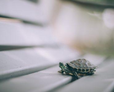Ventajas e inconvenientes de tener una tortuga como mascota